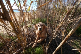 Golden Retriever Beach Strand France Frankreich Anna
