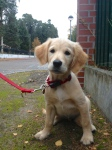 Golden Retriever Puppy Anna