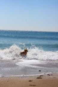 golden retriever anna surprised by a wave france mediterranean sea