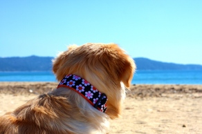 golden retriever halsband 10.000dogs.de 10000dogs dog collars 10000dogs.com