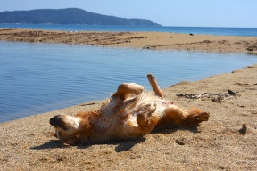 golden retriever dog shaking rubbing drying in sand beach