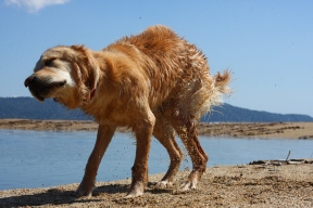 golden retriever dog anna shaking beach