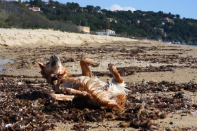 golden retriever putting on perfume beach rubbing in sand and algae fishy smell