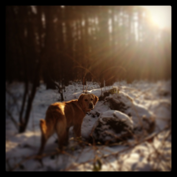 Golden Retriever German Forest in Winter